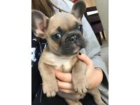 Beautiful KC reg French bulldog puppies for sale