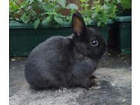 Black netherland dwarf male