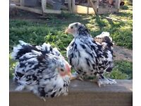 3 Beautiful perfectly tame young cockerels