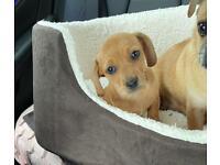 Dachshund x pug puppies