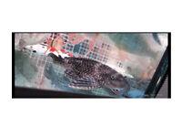 Fish Large pleco 15 cm