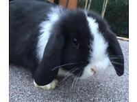 Baby pure bred mini lop bunny rabbit