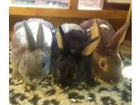 Min rex rabbits