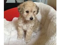 11 month old Lhasapoo (lhasa apso X miniature poodle) for sale