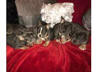 Beautiful 3/4 french bulldog puppies males females