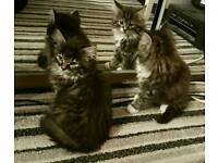 STUNNING FLUFFY GREY TABBY KITTENS 2 GIRLS AVAILABLE. (RAGDOLL CROSS)