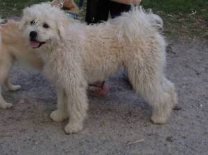 """White medium sized large """"poodle"""" older pup Templestowe Manningham Area Preview"""