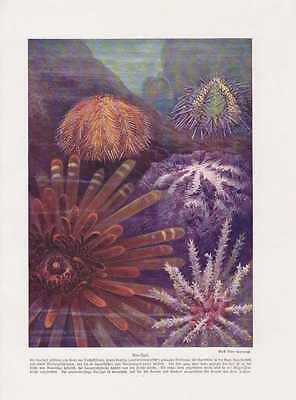 Seeigel Echinoidea Stachelhäuter FARBDRUCK von 1912 Sea urchin Urchins