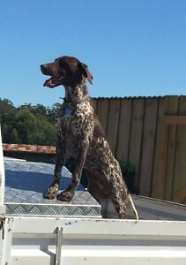 German short haired pointer pure bred Devonport Devonport Area Preview