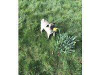 Kc registered female pug for sale