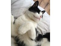 Black and white male adult cat lost in Soho