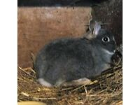 8 Netherland dwarf rabbits for sale.2 adult bucks ,2 adult does ,also four @three months old .