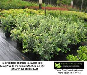 Metrosideros Thomasii in 200mm Pots Hedging Mudgeeraba Gold Coast South Preview