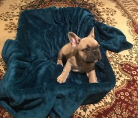 French Bulldog Puppies For Sale (£1700 each ONO)