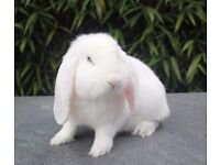 French Lop Pedigree Giant Babies Ready NOW