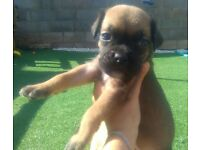 Boxer puppies for sale!!! LAST BOY AVAILABLE!!! DONT MISS!!!!