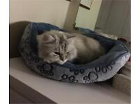 Beautiful Persian+Ragdoll loving cat looking for her forever home