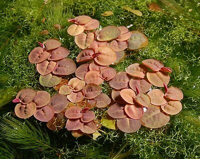10+ Phyllanthus Fluitans Live Aquarium Plants Red Root Floater Floating Frogbit
