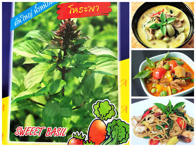 1300 Thai Sweet Basil Seeds Fragrance Herb Green Red Curry Spicy Stir Fried Dish Green Curry Dishes