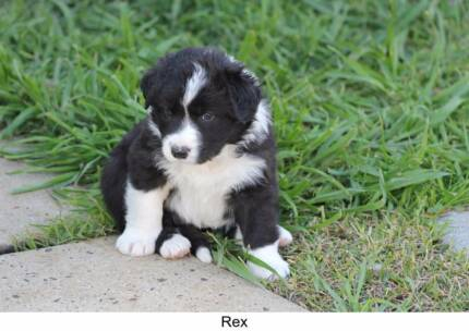 One male pure-bred Border Collie puppy for sale