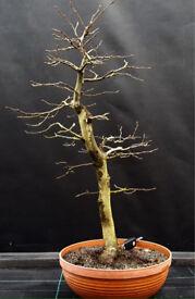 Large Carpinus betulus Yamadori Hornbeam bonsai