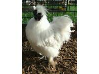 Cockerel silkie