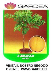 Albicocco nano piante da frutto nane ebay - Pesco noce nano ...