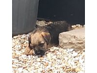 Border Terriers pups for sale