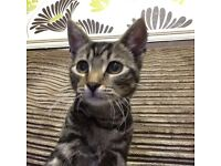 12 WEEKS TABBY KITTEN FOR SALE | WITH TRAVEL CARRIER