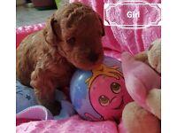 Red miniature poodle KC register