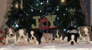 Frenchton Puppies Ready For Xmas!!