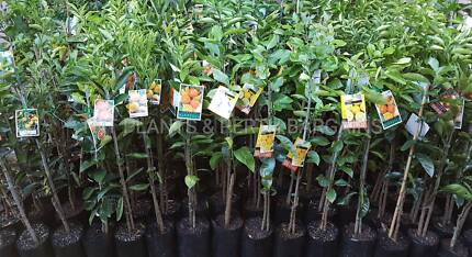 Assorted Fruit Trees Plants From $5 Each
