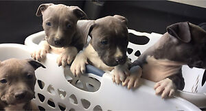 Purebred blue American staffordshire/staffy pups Point Cook Wyndham Area Preview