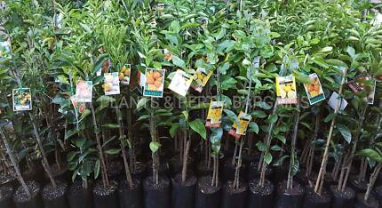Grafted Citrus Fruit Trees Plants From $18 Each