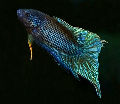 10 x Pairs of Labyrinth Fish Species - Betta, Gourami, Paradise Fish, Badis etc.