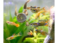 Endlers Livebearers - Males and Virgin Females for Sale