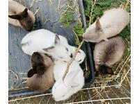 8 beautiful bunnies english:netherland dwarf and 2 older rabbits