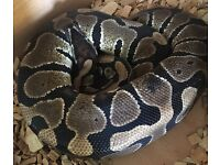 Female Normal Royal Python