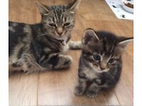 Bengal cross Kittens All now reserved