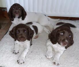 *2 left* English Springer Spaniel Pups
