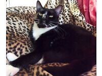 18 Month old neutured tuxedo male needs loving home