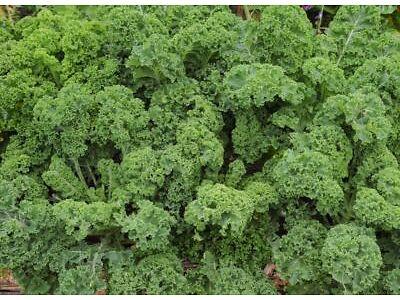 """Red kale /""""Sympatic/"""" 1500 seeds"""