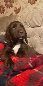 Male Chocolate brown sprocker spaniel puppy