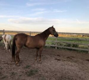 11 year old QH Mare