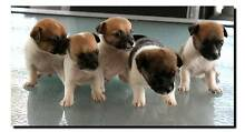 foxy puppys Koumala Mackay Surrounds Preview
