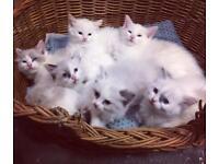 Ragdoll Kittens ready Dec 23rd