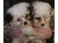 Malshi puppies ( maltese x shih tzu )