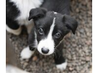 5 Border Collie puppies for sale, Read the ad fully before contacting me.