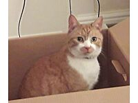 MISSING: ginger and white cat - last seen 28 Feb