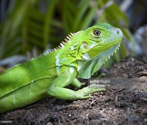 Looking for Iguana